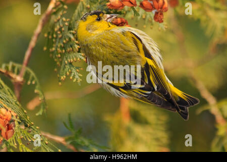 beautiful forest bird sits on a fir,forest birds, birds in forest birds on fir,winter,snow,Eurasian siskin - Stock Photo
