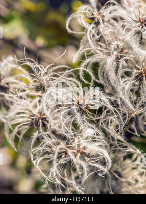 Close up of Clematis vitalba also known as Old Man's Beard - Stock Photo