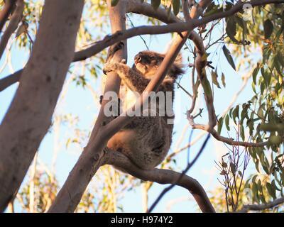 A Koala in a eucalyptus tree enjoying the last light of the day - Stock Photo