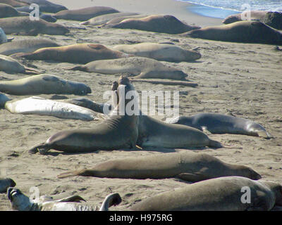 Elephant seals fighting on Point Piedras Blancas beach, California, USA - Stock Photo