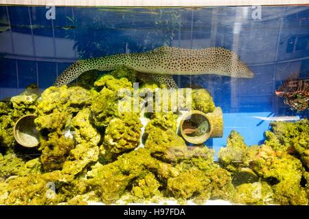 Moray eel swim in aquarium glass tank at home - Stock Photo