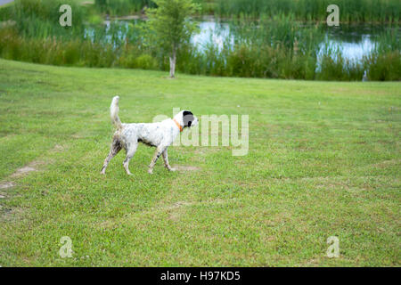 English Setter on point by pond - Stock Photo