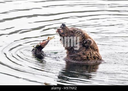 Female brown bear feasting on spawning salmon in Katmai National Park, Alaska - Stock Photo