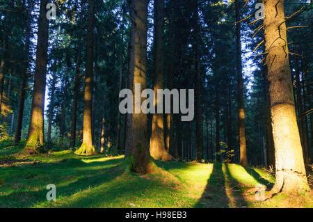 Furtwangen im Schwarzwald: forest: Common Spruce (Picea abies), shadows of tree, Schwarzwald, Black Forest, Baden - Stock Photo