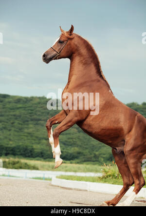 arabian chestnut stallion rearing. - Stock Photo