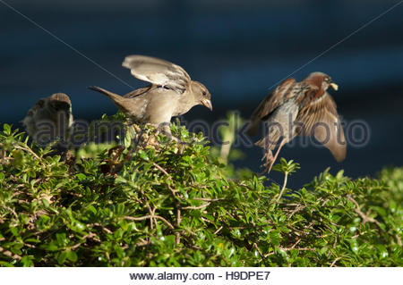 House sparrows (Passer domesticus). Female in the foreground. Auckland. North Island. New Zealand. - Stock Photo
