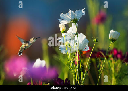 A Ruby-throated Hummingbird hovers in front of a garden filled with colorful flowers on a sunny day. - Stock Photo