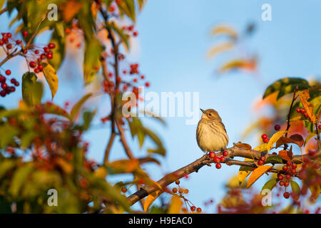 A Yellow-rumped Warbler perches on a branch of a tree covered in red berries with a blue sky background. - Stock Photo