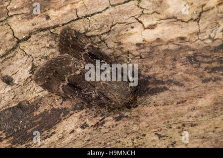 Pyramideneule, Pyramiden-Eule, Amphipyra pyramidea, Noctua pyramidea, Copper Underwing, Humped Green Fruitworm, - Stock Photo