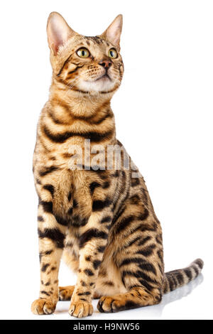 Bengal cat on white background quietly sits and looks up with interest - Stock Photo