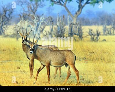 IZebra on the open plains in Lake Kariba with oxpeckers on its back, Zimbabwe - Stock Photo