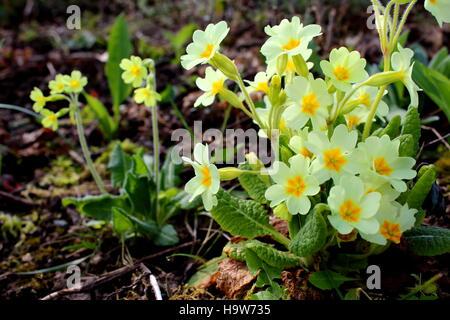 common cowslip (Primula veris) in flower - Stock Photo