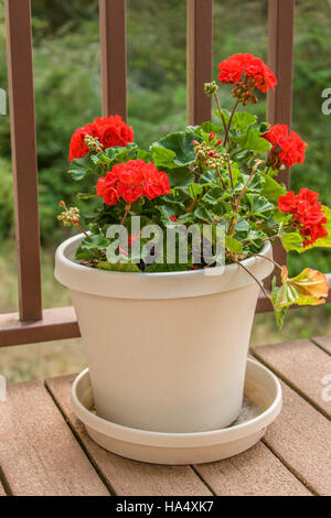 Potted red geraniums sitting on a wooden deck in San Juan Islands, Washington, USA - Stock Photo