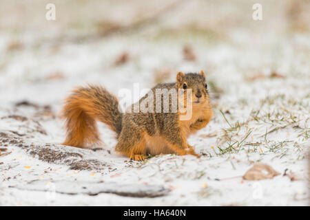 Fox Squirrel foraging on snowy ground. - Stock Photo