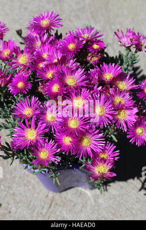 Close up of Mesembryanthemum Blueberry Rumble or known as Lampranthus Blueberry Rumble, Pigface Blueberry Rumble, - Stock Photo