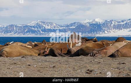 Large group of walruses (Odobenus rosmarus) resting on beach at Poolepynten in Prins Karls Forland, Svalbard / Spitsbergen - Stock Photo