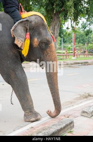 elephant walking on the street of Ayutthaya Thailand - Stock Photo