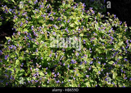Pulmonaria angustifolia, Narrow-leaved lungwort - Stock Photo