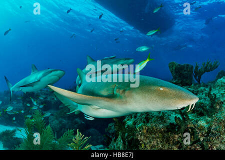 Nurse shark (Ginglymostomatidae), swims over reef with Caribbean reef shark (Carcharhinus perezi), Bahamas - Stock Photo