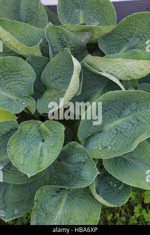 Plantain lily, Hosta Halcyon - Stock Photo