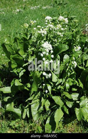 Armoracia rusticana, Horse radish - Stock Photo