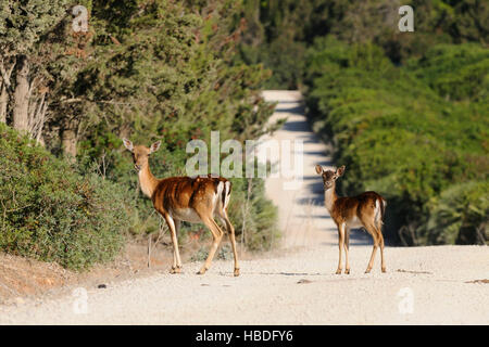 Fallow deer (Cervus dama / Dama dama) doe with fawn in grassland at forest's edge in autumn, Capo Caccia, Sardiania, - Stock Photo