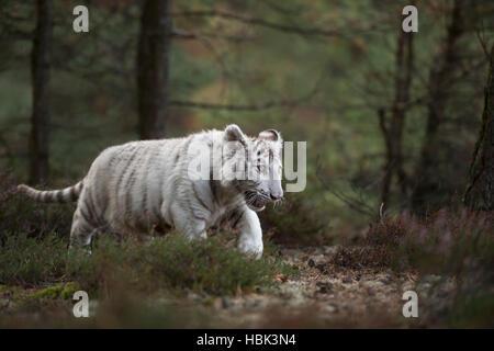 Royal Bengal Tiger / Koenigstiger ( Panthera tigris ), white morph, young, cute animal, sneaking through a forest. - Stock Photo