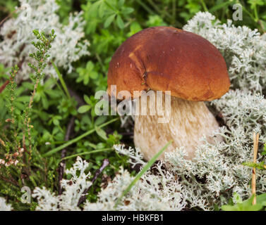 Mushroom boletus on the moss in september - Stock Photo