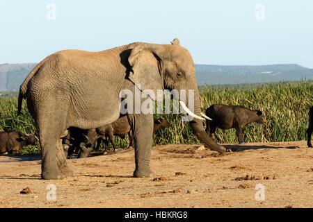 I am BIG The African Bush Elephant - Stock Photo