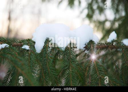 pine - Stock Photo