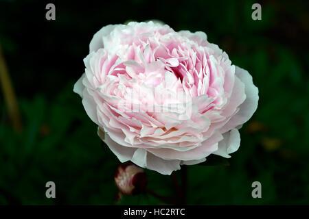 paeonia lactiflora sarah bernhardt pink peony peonies flower flowers flowering herbaceous perennial fragrant scented - Stock Photo