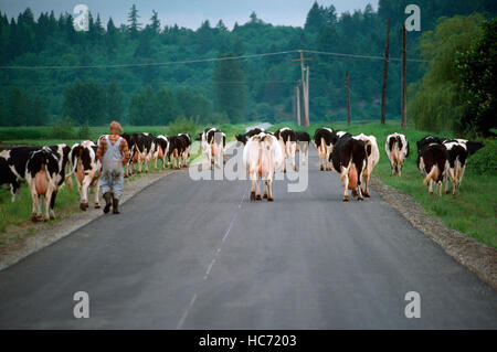 Small Herd of Holstein Cattle / Cows walking along Country Road, heading Home to be milked - Dairy Cattle Breed - Stock Photo