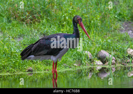 Black stork (Ciconia nigra) foraging in shallow water of pond - Stock Photo