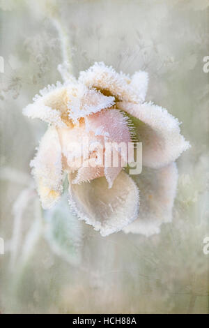 Pale Pink frosted Rose Flower - Stock Photo