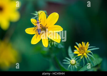 Orange and black Pennsylvania Leatherwing Beetle on the yellow petals of a Biden flower with more flowers de-focused - Stock Photo