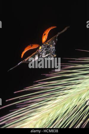 7-spot ladybird, Coccinella septempunctata. In flight. Portugal - Stock Photo