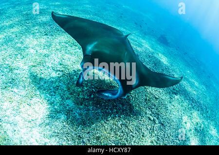 An adult manta ray (Manta birostris) at Makaser, Komodo National Park, Flores Sea, Indonesia - Stock Photo