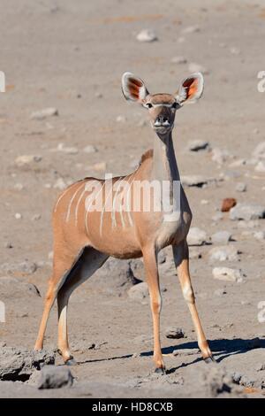 Female greater kudu (Tragelaphus strepsiceros), standing, alert, Etosha National Park, Namibia, Africa - Stock Photo