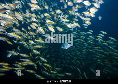 Predators and prey underwater, a large trevally hunting in amongst a school of fusiliers. Schooling behaviour. - Stock Photo