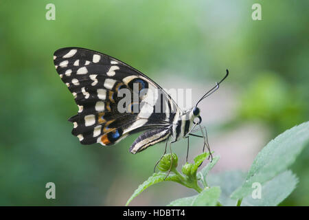 Citrus Swallowtail Butterfly (Papilio demodocus) - Stock Photo