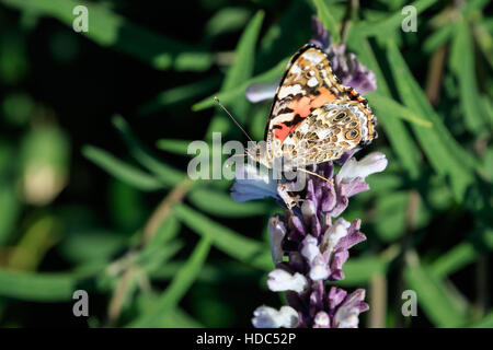 Painted Lady, Vanessa cardui), found in  backyard flower garden. This image also shows the underwing - Stock Photo