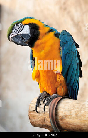Blue and yellow macaw (Ara ararauna) at bird souq in Doha, Qatar. - Stock Photo