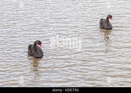 Two black swans (cygnus atratus) swimming with identical postures - Stock Photo