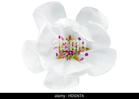 Single flower of magnolia.  Isolated on white background - Stock Photo