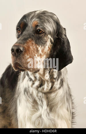 male 14 month old english setter - Stock Photo