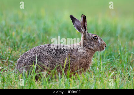 European Brown Hare (Lepus europaeus) sitting in grassland - Stock Photo