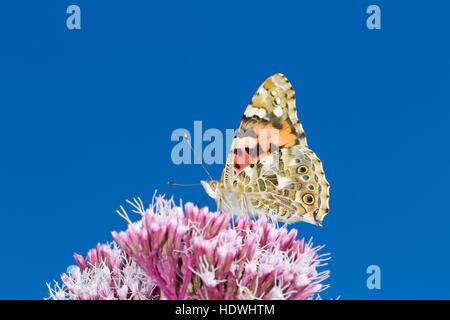 Painted Lady butterfly (Vanessa cardui) adult feeding on Hemp-agrimony (Eupatorium cannabinum) flowers. Powys, Wales. - Stock Photo