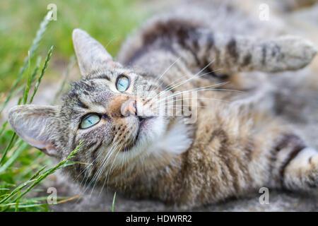 Tabby cat (Felis catus) - Stock Photo