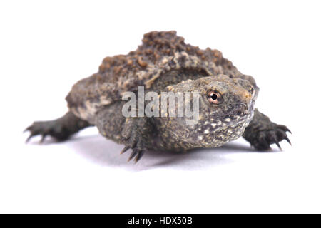 Common snapping turtle, Chelydra serpentina - Stock Photo