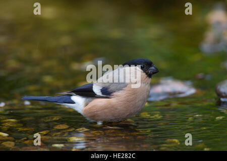 Common bullfinch / Eurasian bullfinch (Pyrrhula pyrrhula) female drinking water from brook - Stock Photo
